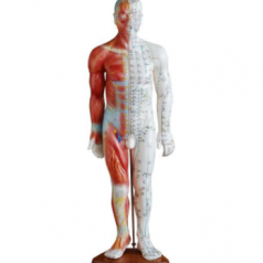 Acupuncture and muscle model male 55CM XC-517A