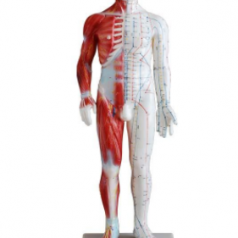 Human acupuncture and muscle model male 60CM XC-518A
