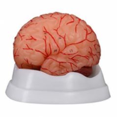 XC-308D brain with arteries 9 parts supplier in Bangladesh