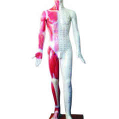 Human acupuncture models Deluxe acupuncture model 178CM XC-501