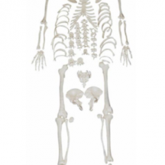 Educational disarticulated skeleton with skull XC-130 supplier in Bangladesh