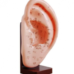 Ear acupuncture model 22CM, XC-508A