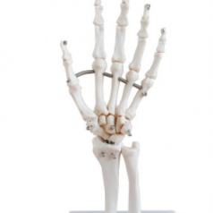 Human life size hand joint, XC-114; Joint skeleton models