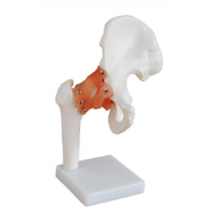 Human life size hip joint, XC-110; Joint skeleton models