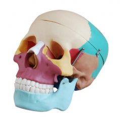 Human Life size skull with colored bones XC-104C Skull models