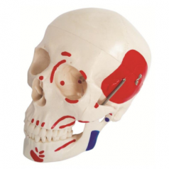 Human life size skull with painted muscles, XC-104B Life size skull with painted muscles, XC-104B