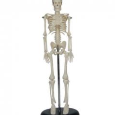 Human mini skeleton 45CM, XC-103; Skeleton modes