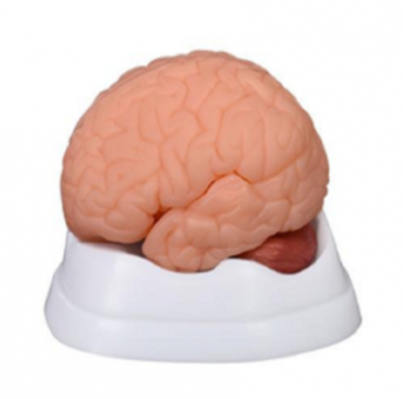 Medical students learning human body new style brain models price in Bangladesh
