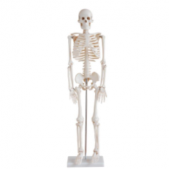 Human skeleton 85cm XC-102 elite scientific and meditech co