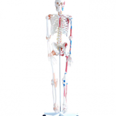 Skeleton with muscles and ligaments 180cm tall XC-101A Skeleton  models elite scientific and meditech co