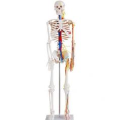 Human skeleton with nerves and blood vessels 85cm, XC-102B; Skeleton modes