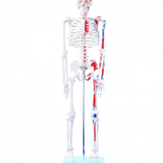 Human skeleton with painted muscles 85cm XC-102C Skeleton modes