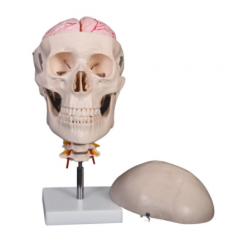 XC-135E Skull with 8 parts brain and cervical spine