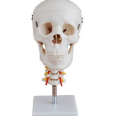 Educational skull with cervical spine supplier in Bangladesh