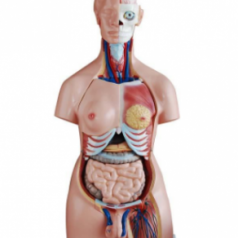 Educational human body unisex torso price in Bangladesh